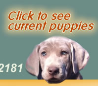 Click here to see Weimaraner puppies
