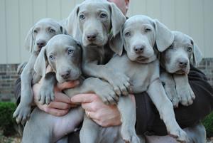 Weimaraner Puppies For Sale